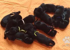 Chs nabízí štěňata novofundlanského psa,černá s PP