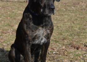 Koko- kríženec cane corso