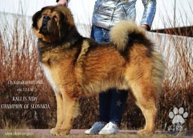 Tibetská doga - štěňátka s rodokmenem