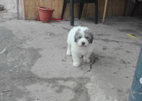 Pyrenejského horského psa