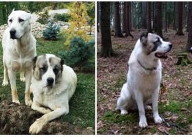 Štěňata - Prodej - Středoasijský pastevecký pes