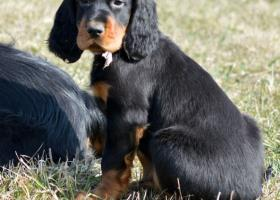 CHS Dark Hoof Gordons - šteniatka s PP