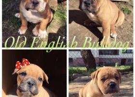 Old English Bulldog - ODBER O TÝŽDEŇ!