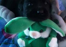 Labrador Retriever šteniatká