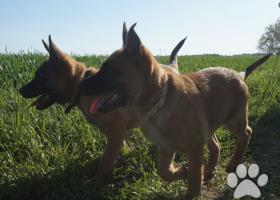 Belgický ovčák malinois-štěně s PP