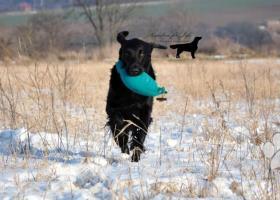 Nabízím krytí krásným a úspěšným psem, plemene FCR