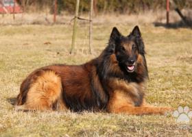 Belgický ovčiak Tervueren (šteniatka) s PP