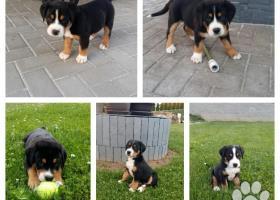 Velký švýcarský salašnický pes s PP