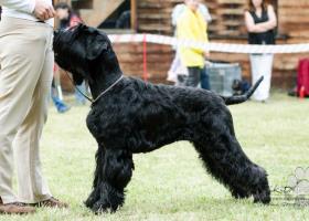 Velký bradáč - psík k odberu