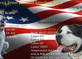 Americký bulldog