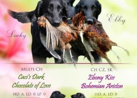 Flat coated retriever s PP