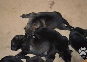 Nemecký ovčiak šteňa
