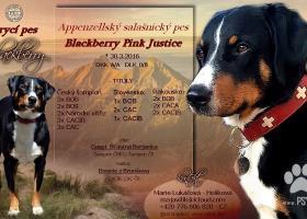 Nabízím krytí appenzellský salašnický pes