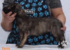 Predaj šteniatka írskeho vlkodava