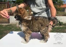 Prodám štěně čínský chocholatý pes- labutěnka