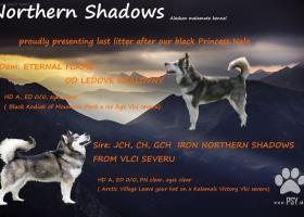 Aljašský malamut s PP