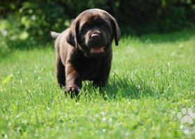 Labradorský retriever, čokoládový pejsek s PP