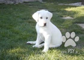 Ponúkam na predaj Krásne šteniatka Labradora