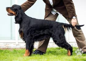 Gordon seter - šteniatka s PP - FENKA DO CHOVU !!!