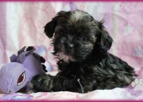 Boloňský psík, ruská barevná bolonka