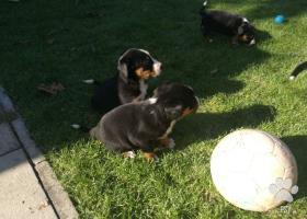 Appenzellsky salašnicky pes
