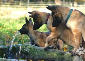 šteňatá belgický ovčiak/tervueren
