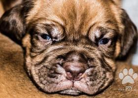 Bordeauxská doga - prodej štěňat