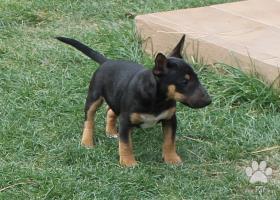 Mini Bullterrier FENKA s PP