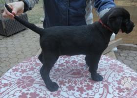 Cane - Corso steniatka,2x pes