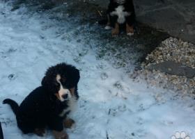 Bernský salašnícky pes - 2 psíky