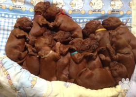 írsky setter šteňatá FCI / irish setter puppies