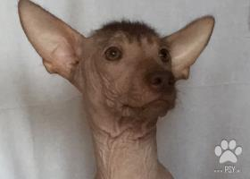 Peruánsky naháč s PP  psík