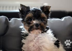 Biewer Yorkshire terrier - psík s PP