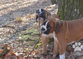 Boxer – štěňata