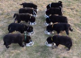Tibetská doga - exkluzivní štěňata s PP