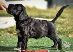 Portugalský vodný pes s PP - posledný voľný psík