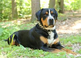 Veľký švajčiarský salašnícky pes s PP