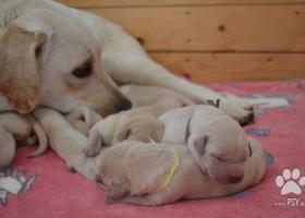 Labrador - žlté šteniatka s PP