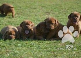 Dogue de Bordeaux, French mastiff, Bordo doga