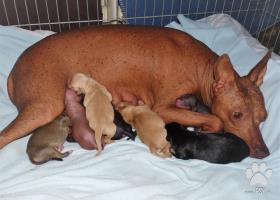 Zadáme šteňatá peruánskeho naháča