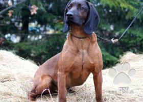 Predám šteniatka-Fenky bavorského farbiara s PP