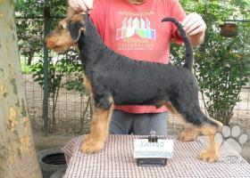 Airedale teriér šteňa na predaj