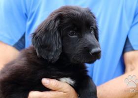 Hovawart - černé štěně s PP