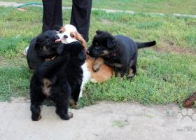 Chodský pes, šteniatka s pp