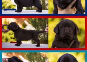 Labrador Rertiever FCI-UKU kennel