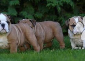 Anglicky Bulldog s PP