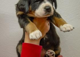 Entlebušský salašnícky pes s PP