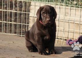 Labrador čokoládové šteniatka s PP
