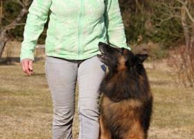 Belgický ovčiak Tervueren - štěňátka s PP