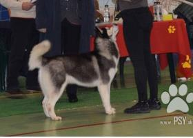 Syberian Husky pure bred Puppies-birth 21.04.2020